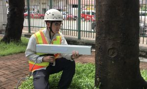 A tree inspection personnel is examining the internal structural condition of a tree with a resistograph..